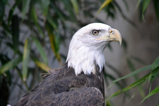 Zoo Bald Eagle