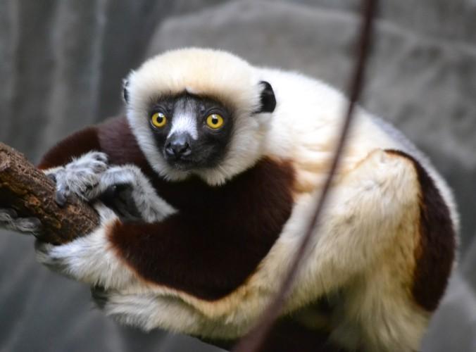Zoo Lemur Sifaka