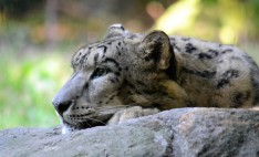 Zoo Snow Leopard