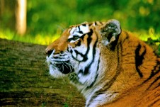 Zoo Tiger