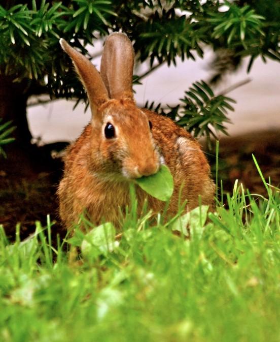 Rabbit Munching on Leaf