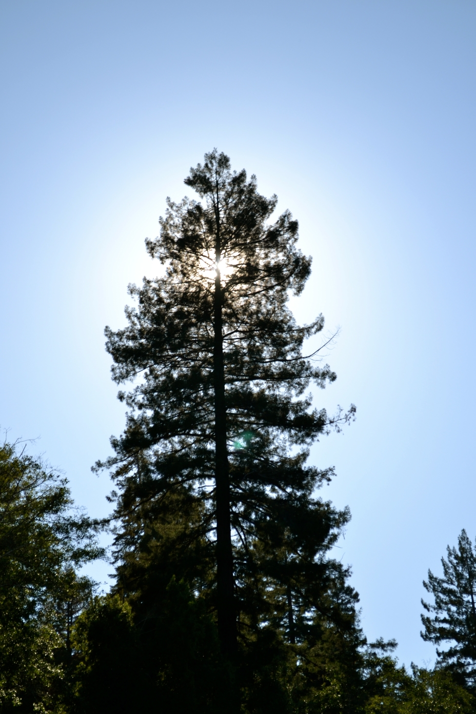 Redwood Silhouette.jpg