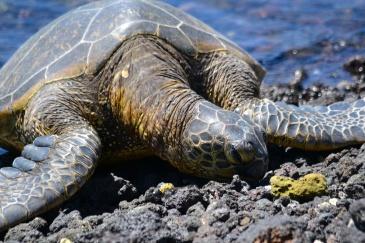 Sea Turtle in Hawaii