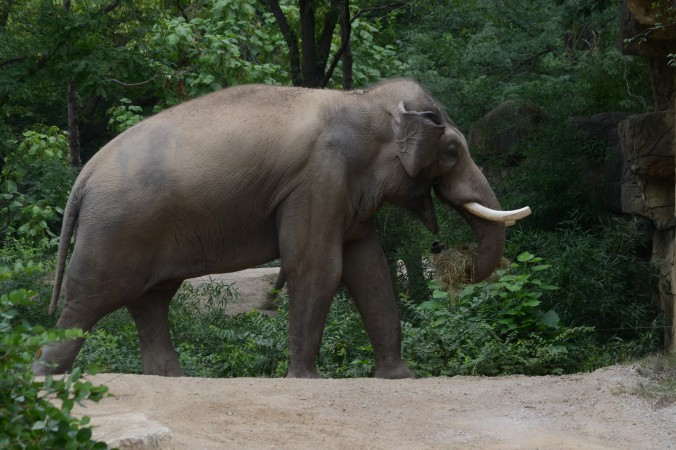 Zoo Asian Elephant 2