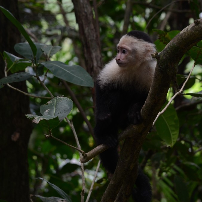 Capuchin Monkey in Costa Rica