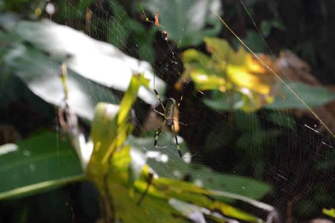 Costa Rica Spider